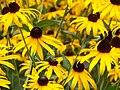 Black-eyed Susan flowers in a meadow (Unsplash).jpg
