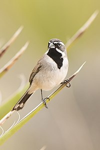 Black-throated sparrow (Amphispiza bilineata) (16750828608).jpg