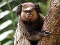 Black-tufted marmoset (sagui-de-tufos-pretos).jpg