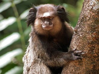 Black-tufted marmoset - Image: Black tufted marmoset (sagui de tufos pretos)