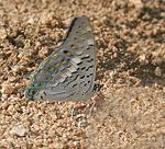 Black Rajah (Charaxes solon) in Hyderabad, AP W IMG 0782.jpg