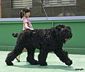 Black Russian Terrier and My Daughter (블랙 러시안 테리어와 딸).jpg