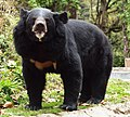 Black bear, Darjeeling zoo.jpg