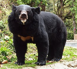 Black bear, Darjeeling zoo.jpg
