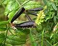 Black podded peas, Omagh - geograph.org.uk - 1396184.jpg