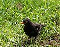Blackbird at Salta.JPG
