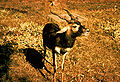 Blackbuck Antelope.jpg