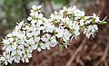 Blackthorn (Prunus spinosa) - geograph.org.uk - 1275426.jpg
