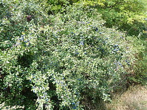 Berry - Blackthorn - Prunus spinosa