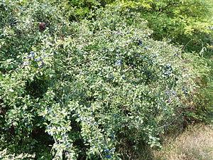 Berry - Blackthorn - Prunus spinosa