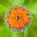 Bloemknop van een goudsbloem (Calendula officinalis) 03-07-2020 (d.j.b.) 01.jpg