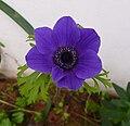 Blue-culture-anemone001.jpg