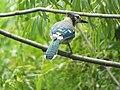 Blue Jay, Salmon Park, Sachse, Texas, July 23, 2021 (51331019496).jpg