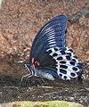 Blue Mormon Papilio polymnestor by Dr. Raju Kasambe DSCN0783 (8).jpg