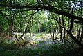 Bluebells by Tower Rd - geograph.org.uk - 1289469.jpg