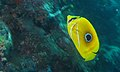Bluelashed Butterflyfish (Chaetodon bennetti) (6133262014).jpg