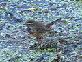 Bluethroat bird.jpg