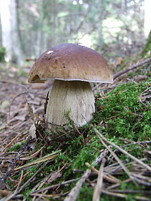 A mushroom with a brown smooth cap the shape of a halved sphere, atop a thick, dirty white stem. The mushroom is growing on a sloping patch of ground amongst moss, twigs and other forest debris; trees can be faintly seen in the background.