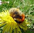 Bombus pascourum. Pale Scottish form. - Flickr - gailhampshire.jpg
