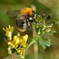 Bombus pascuorum (male) - Medicago x varia - Keila.jpg
