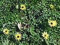 Bondi, 16 - Six daisies - Bondi, 2011.jpg