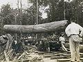 Borneo logging 1926.jpg