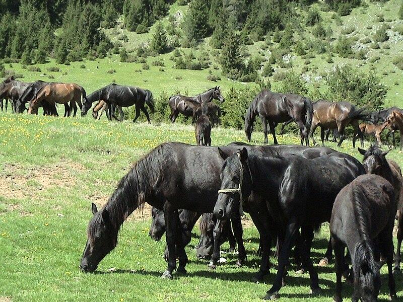 Plik:Bosanski brdski konji ispasa.jpg