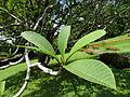 Botanical Garden of Peradeniya 38.JPG