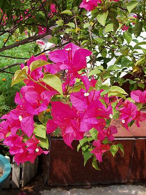 Bougainvillea glabra - Image: Bougainvillea Glabra