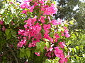 Bougainvillea in Jerusalem (3654117421).jpg