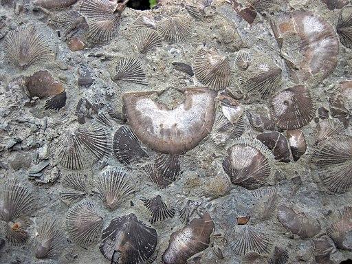 Brachiopods in limestone (Waynesville Formation, Upper Ordovician; Roaring Run, Warren County, Ohio, USA) 4