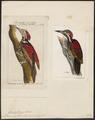 Brachypternus erythronotus - 1700-1880 - Print - Iconographia Zoologica - Special Collections University of Amsterdam - UBA01 IZ18700341.tif