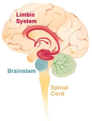 Cannon–Bard theory - The location of the limbic system, the key brain area in the Papez-MacLean theory of emotion.