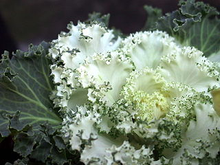 Brassica oleracea by jam343 on Flickr, via Wikimedia Commons, released under the Creative Commons Attribution 2.0 license.