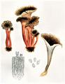 Bresadola - Cantharellus tubiformis.png