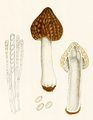 Bresadola - Morchella crassipes.png