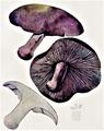 Bresadola - Tricholoma nudum.png