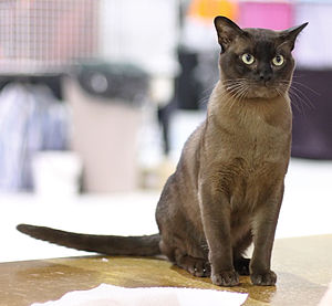 "Burmese cat - Brown (American ""sable"") British/European male."