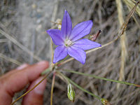 Brodiaeafilifolia.jpg