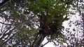 Bromélias, nas copas das árvores, encontrada na Mata Cipó, derivação de Mata Atlântica-Ba.jpg