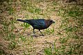 Brown-headed Cowbird (14115656207).jpg