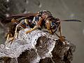 Brown Paper Wasp-27527-4.jpg