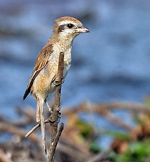 Brown shrike - Immature bird, Kolkata, India