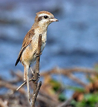 Brown shrike - Immature bird, Kolkata, India