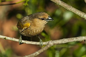 Description de l'image Brown Tanager - Itatiaia - Brazil MG 0161 (23224278996).jpg.