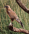 Brown falcon (Falco berigora).jpg