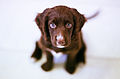 Brown puppy (9899551176).jpg