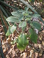 Bryophyllum pinnatum c.JPG