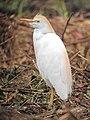 Bubulcus ibis Garcita bueyera Cattle Egret (6236044862).jpg