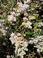 Buddleja salviifolia 1a.JPG